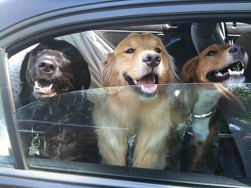 Three happy dogs - a black Labrador, a Golden Retriever, and another smooth brown dog - look out a car window! By CC Chapman