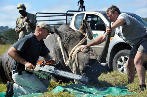 today:  South African game park wardens cut horns from rhino to save it from poachers (Gallo Images via Getty Images) Heartbreaking image.