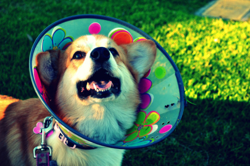 corgiaddict:  awww look at this happy guy in his groovy cone of shame!  If I were a Corgi and had to wear a cone of shame, this is the one I would want to wear. It's awfully awesome.