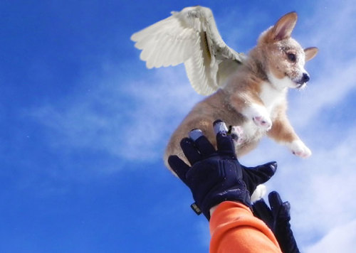 This Corgi just wants to fly! Can't say I blame him.