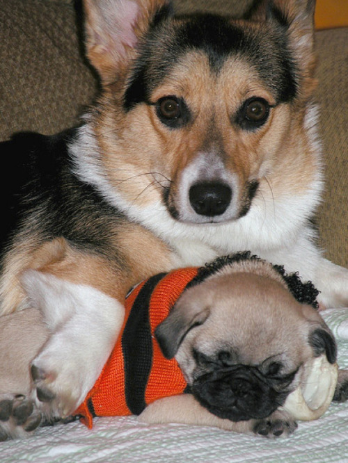 Awww pugbuddies!  boodapug:  BuzzFeed posted 25 photos of pugs and corgis together. I liked this one the best.