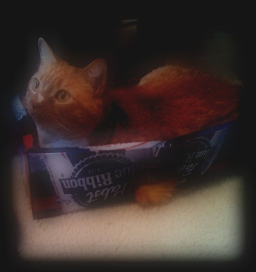 get out of there cat. you cannot sit in a pbr box. pbr is for hipsters. you don't even know what a hipster is you are a cat.