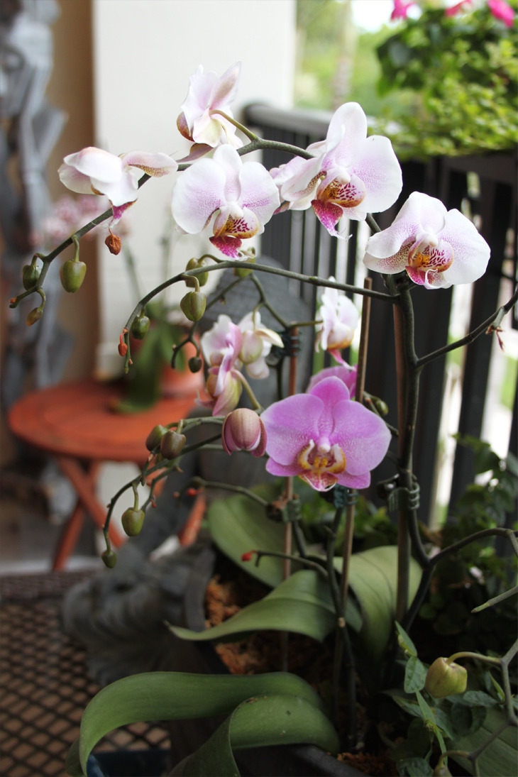 My orchids are out of control… so pretty : ) ~photo by me.