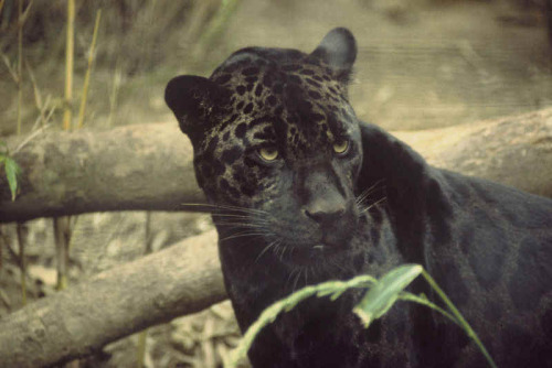 A black panther is typically a melanistic colour variant of any of several species of larger cat. Wild black panthers in Latin America are black jaguars (Panthera onca), in Asia and Africa they are black leopards (Panthera pardus), and in North America they may be black jaguars or possibly black cougars (Puma concolor – although this has not been proven to have a black variant), or smaller cats. In jaguars, the melanism allele is dominant. Consequently, black jaguars  may produce either black or spotted cubs, but a pair of spotted jaguars  can only produce spotted cubs. The gene is incompletely dominant:  individuals with two copies of the allele are darker (the black  background colour is more dense) than individuals with just one copy,  whose background colour may appear to be dark charcoal rather than  black.