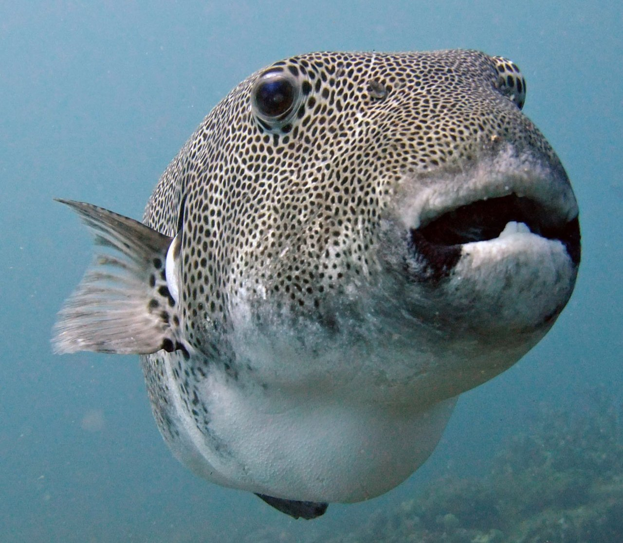 Porcupine Pufferfish by Jurgen Koch