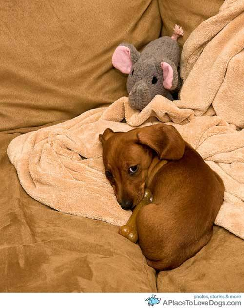 aplacetolovedogs:   seannaber Betsy looking pretty cute all curled up and ready to sleep Original Article