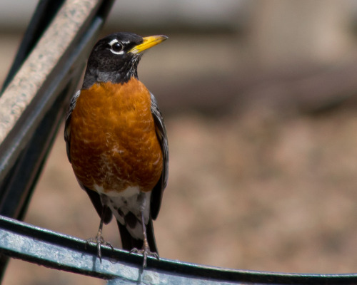 I know the lowly robin is unremarkable in the midwest, but this fellow was posing so regally I had to take his portrait. Using a Pentax FA 100-300 f5.6 that my cousin was kind enough to loan to me, I was in the backyard testing it. I love my 50-135 DA* - in fact, it's one of the sharpest, most contrasty zooms I've ever used - but it just doesn't reach out quite far enough. This was one of the images that made me a believer. At 100% enlargement, you can see the tiny hairlike feathers around the base of his beak.