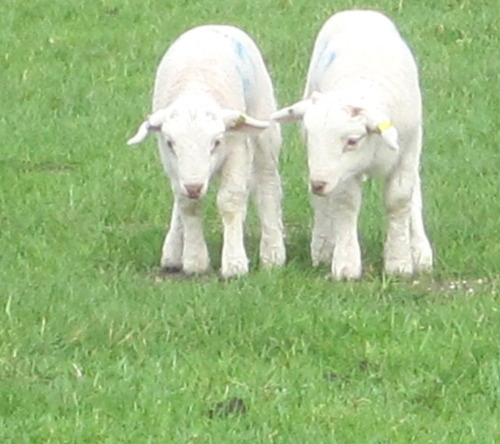 twin lambs on a henge-ed plain in avebury, england. they loved to skip and play.