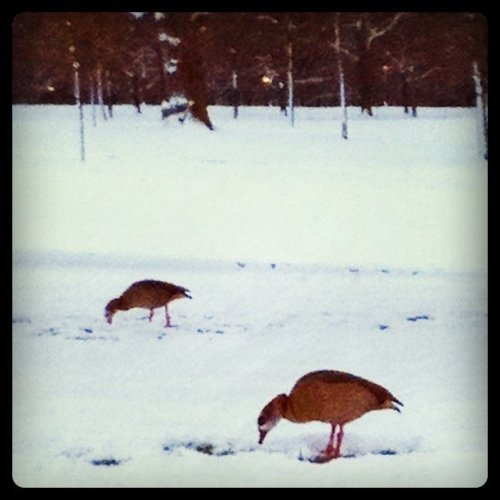 Birds on a frozen lake. (Taken with instagram)
