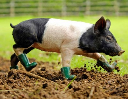 Cinderella, a British piglet, won't walk through mud unless she is wearing her specially adapted Wellington boots. Apparently pigs in rain boots is a new trend
