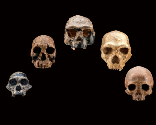 eudaimonist:  Five fossil human skulls show how the shape of the face and braincase of  early humans changed over the past 2.5 million years. From left to  right: Australopithecus africanus, 2.5 million years old; Homo  rudolfensis, 1.9 million years old; Homo erectus, ~ 1 million years old;  Homo heidelbergensis, ~350,000 years old; Homo sapiens, ~ 4,800 years  old. Photo Cred: Chip Clark, Jim DiLoreto, & Don Hurlbert,  Smithsonian Institution