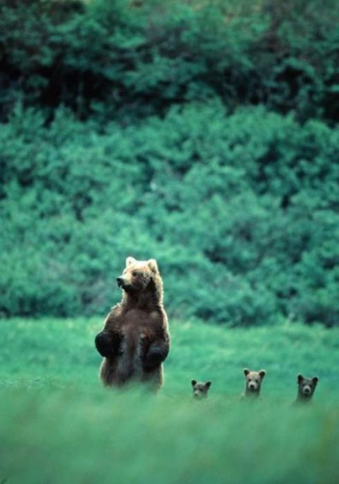 ohitsjustin:  mother bear along with her trio of cubs engage in curiousity