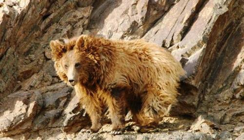 GOBI BEAR (Ursus Arctos  Gobiensis)  ©gobibear.mn Mazaalai – this simple mongolian word means Gobi Bear who inhabits in  the Gobi desert of Mongolia. No other place on the  entire Earth is home  for this rare specie of Bear. Its scientific name  is Ursus Arctos  Gobiensis. It's listed in the Red Book of Mongolia with  a status of VERY  RARE.  Mazaalai is near extinction & globally   threatened bear. Fact Source: http://gobibear.mn/ Other photos you may enjoy: Eurasian Brown Bear Common Sloth Bear Polar Bear misconceptions
