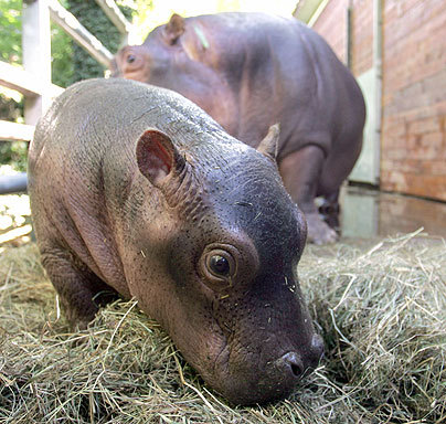 lovefaithhopelife:  Baby hippos are so cute…(: