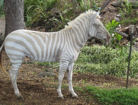 Hey look, an albino zebra never seen one before.