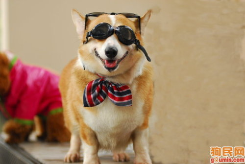 If I held a contest, would you all be interested in having a corgiaddict.com subdomain as a part of a prize? Your tumblr or blogger/wordpress/whatever would direct to: YOUR-CORGI-BLOG.corgiaddict.com  It would not be a sole prize, but part of a grand prize. Yes, I am going to announce a corgi contest soon. Just trying to figure out some logistics. No, I am not giving away any corgis. Subdomain as part of a prize - yes/no?