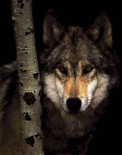lonewolf83:  animalia:  Wolf. My favorite animal. :)  Mine too. :-)
