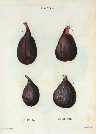 scientificillustration:  Figs