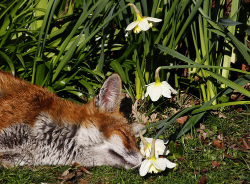 A fox makes the most of the sunny weather in a garden in London