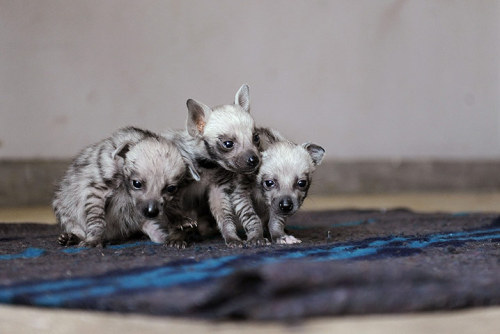 A trio of striped hyena cubs at the Kenya  Wildlife Service headquarters on 24 March in Nairobi where they have  lived since they were rescued a month ago. The striped hyena (Hyaena hyaena) is considered threatened in many parts of Africa. It has been widely hunted with dogs, poisoned or caught in traps