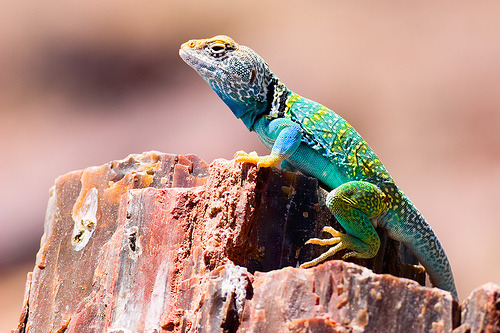 rhamphotheca:  faunis: collared lizard (by Leviathor)