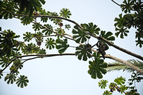 Cecropia tree.