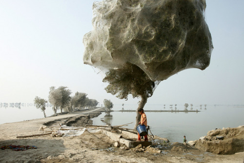 Trees cocooned in spiders webs after flooding in Sindh, Pakistan by DFID - UK Department for International Development on Flickr.  An unexpected side-effect of the flooding in parts of Pakistan has been that millions of spiders climbed up into the trees to escape the rising flood waters.  In a word? Wow! Just to be clear… this photo is from December 2010.