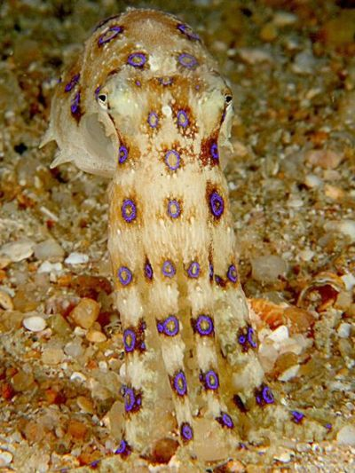 scipsy:  Blue-Ringed Octopus  One half of  a deadly duo, the blue-ringed octopus enjoys an interesting  symbiotic  relationship with colonies of bacteria that inhabit its  salivary glands.  The bacteria produce potent neurotoxins that can kill a  human in just  a few minutes yet appear to have no harmful effect on  the octopus. This  toxic saliva, injected through shells broken with the  octopus's birdlike  beak, also helps it to digest crabs and mollusks. (Photograph by Jeffrey de Guzman, My Shot; Via National Geographic)