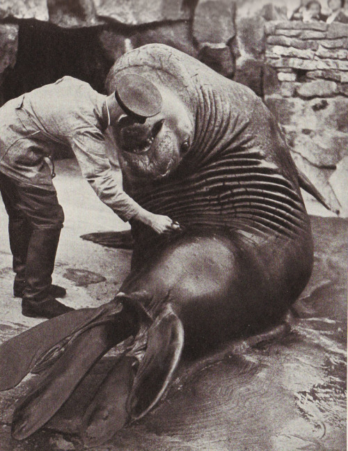 nightwindsent:  Roland, a 4,500-pound sea elephant in Berlin zoo, National Geographic, 1937.