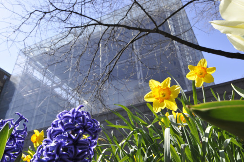 amnhnyc:  Denis shot this springtime photo in front of the entrance to the Rose Center for Earth and Space.  Springtime snapshot of one of my favourite places on earth. Happy May, everyone!