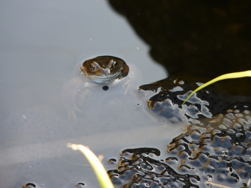 animalia:  Frog and frogspawn (by Mimsie).  Happy Mother's Day!