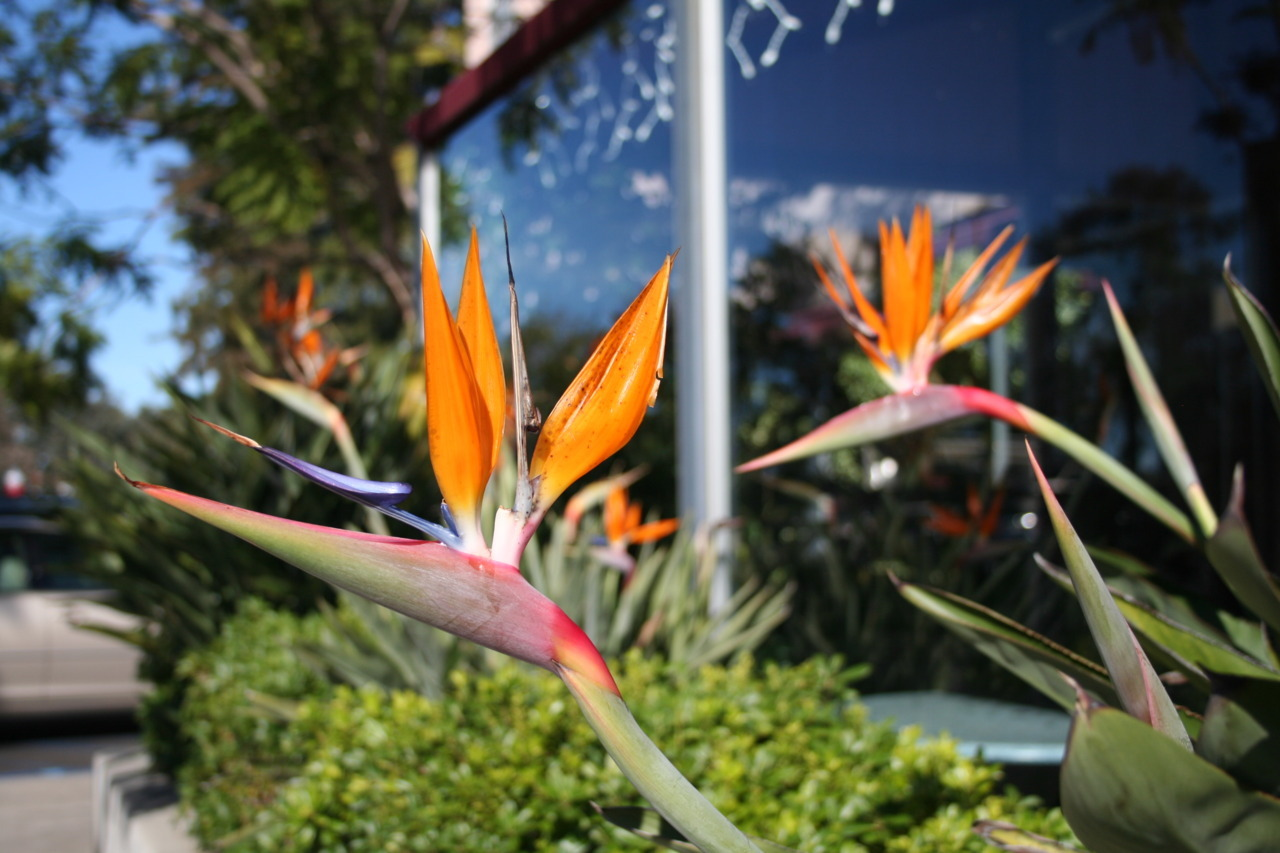 Birds of Paradise. San Diego, California. 12.24.10.