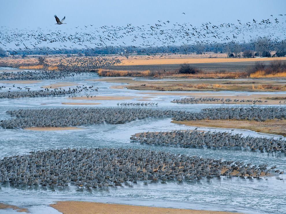 Half a million sandhill cranes pause on the Platte River in Nebraska to fatten up on corn waste, worms, and other food in nearby fields. The break occurs on their spring flight from Mexico and the southern U.S. to breeding grounds in the far north. Photograph by Joel Sartore