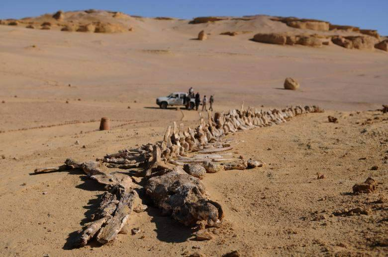 Largest whale skeleton in the world found at Siwa Oasis The Environment Ministry announced on Monday that it had discovered the largest whale skeleton in the world, dating back 37 million years. The skeleton was found in the area of Siwa Oasis, which became a natural protectorate in 2002. According to a statement from the Environment Ministry, the Egyptian Fossil Exploration Team found the skeleton during a collaboration with the University of Michigan that lead to the discovery of several important fossils. The ministry also announced that 150 new palaeontological sites have recently been registered as excavation sites. Among the specimens contained in the sites are three different types of marine species, namely whales, dugongs, and giant sea turtles, as well as water snakes, and shark teeth.