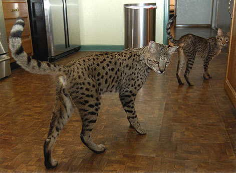 i want one so bad! look at it, its practically a cheetah.