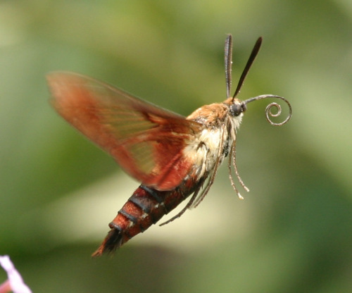 Humming bird moth! One of those flew right up to my face one time when I was lying on a bench with my eyes closed, it was awesome.