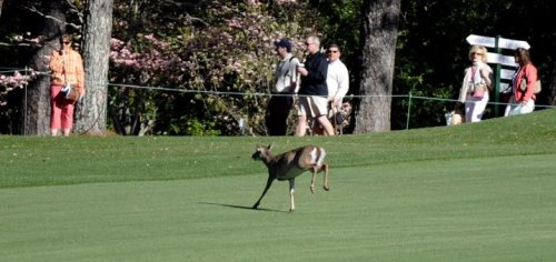 A deer runs across the No. 2 fairway on Wednesday morning. (Jackie Ricciardi/Staff) Strange sight in four-legged Masters crasher  An uneventful practice round at Augusta National Golf Club took a  strange twist Wednesday morning when Masters Tournament champions Phil  Mickelson and Fred Couples encountered a deer on the eighth fairway.