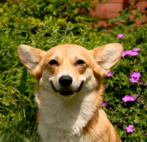 corgiaddict:  Corgi smiles are just the best.   I vant this one!