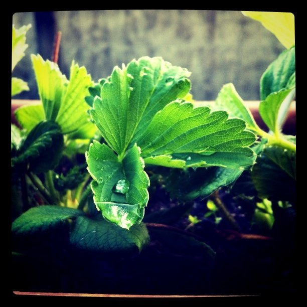 My #garden. #strawberry growing (Taken with instagram)