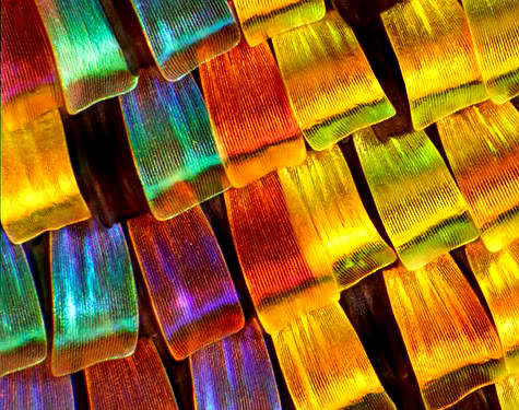 SUNSET MOTH (Chrysiridia rhipheus)  Wing Scale Microphotography  ©Charles Krebs The Daily Mail was featuring some award-winning microphotography, and the dazzler below turned out to be the wing scales of a Madagascan sunset moth, Chrysiridia rhipheus. The shot won Charles Krebs of Washington State an honorable mention in this year's Nikon Small World competition.