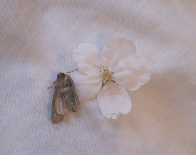 A deceased moth and a cherry blossom flower.