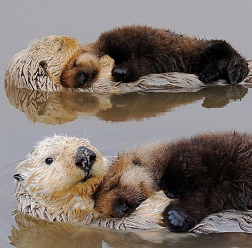 Oh, otters. How lovely you are. (via)  One day, perhaps, I will have a pet otter. Actually, two pet otters, so they can hug each other as they nap in the river.