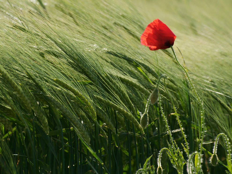 This fragile poppy looked rather strong against the wind in a large wheat field just outside the city center of Geneva, Switzerland. Photograph by Gulen Erendag Legrand