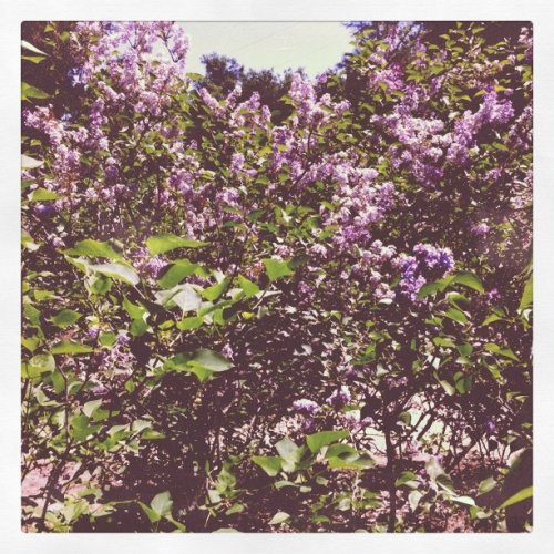 Lilacs in bloom (Taken with instagram)