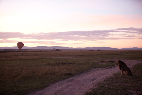 Lion at dawn, Masai Mara