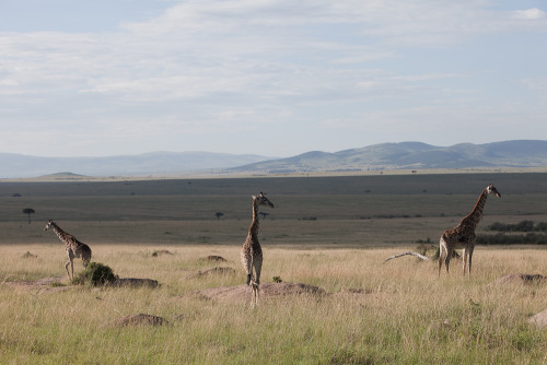Giraffe on the savannah, Masai Mara