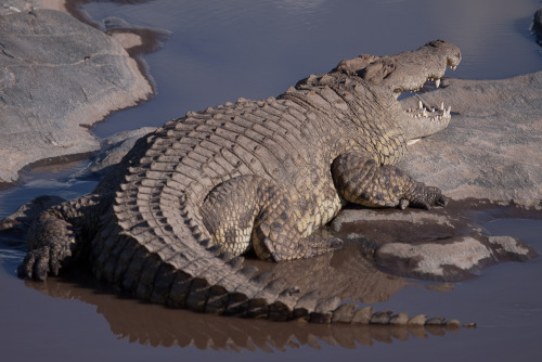 Large crocodile waiting for breakfast in the Mara River