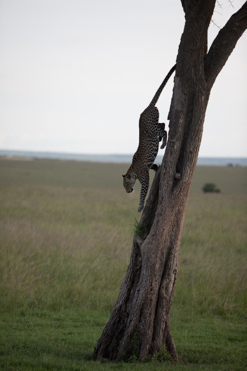 Leopard casually clambers down a tree in the Masai Mara. What you don't see here are the half dozen safari vehicles also eagerly awaiting the moment he came down. He was completely unfazed by our presence