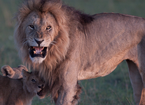 Large male lion with one of his cubs, dawn, Masai Mara