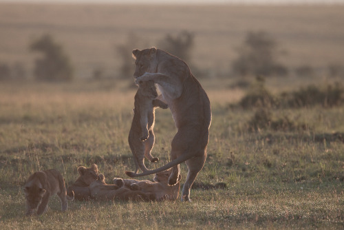 Lioness playing with her cubs at dawn in the Masai Mara in Kenya
